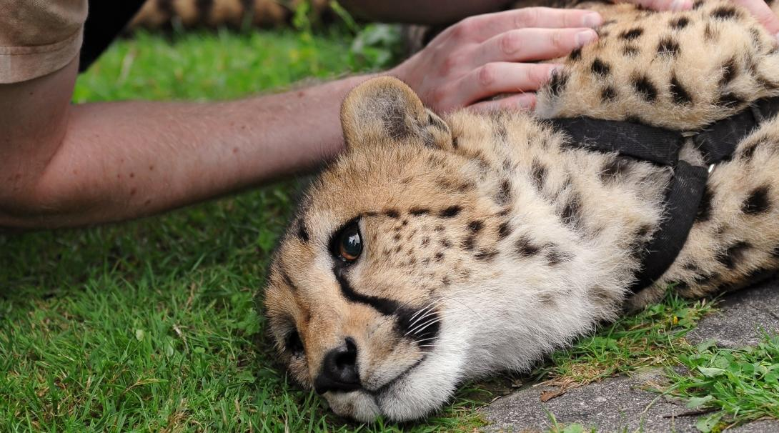 A tourist petting a cheetah bred in captivity